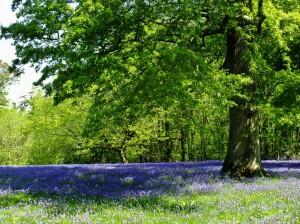 Bluebells by the million (1024x767)