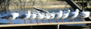 Seagull line-up, Helston Boating Lake_1261_cr